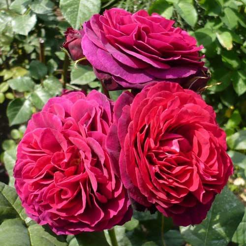Роза английская Астрид Граффин фон Харденберг изображение 2 артикул 2209