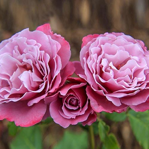 Роза чайно-гибридная Аметист изображение 1 артикул 2102