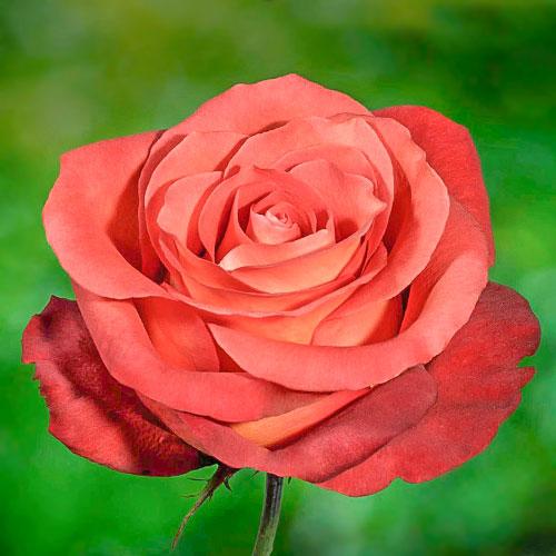 Роза чайно-гибридная Кофе Брейк изображение 1 артикул 2122