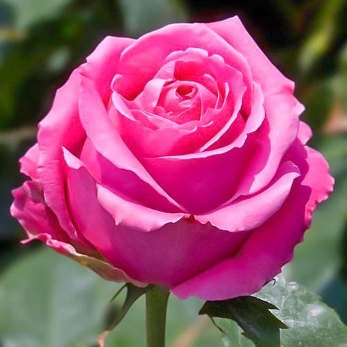 Роза чайно-гибридная Королева красоты изображение 1 артикул 2121