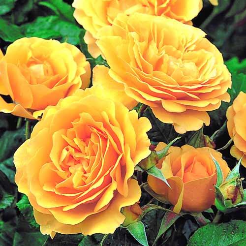 Роза флорибунда Джулия Чайлд изображение 1 артикул 2192