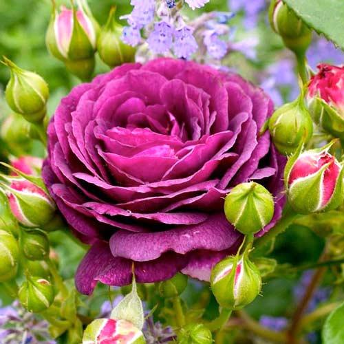 Роза флорибунда Эбб Тайд изображение 1 артикул 2204