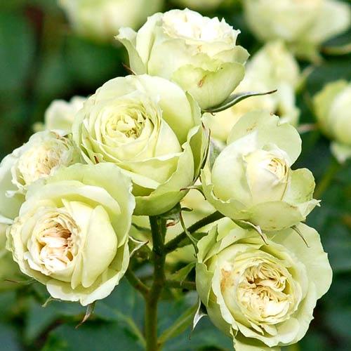 Роза флорибунда Лавли Грин изображение 1 артикул 2194