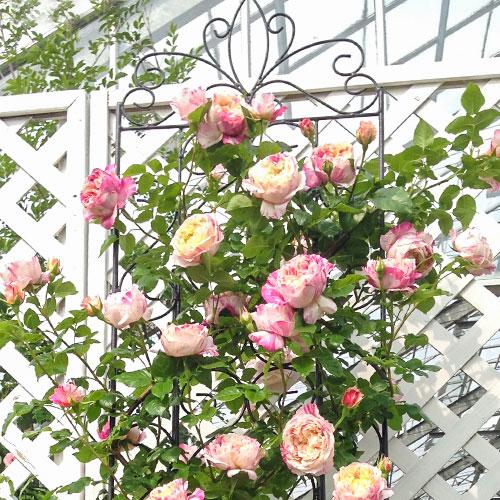 Роза плетистая Импрессионист