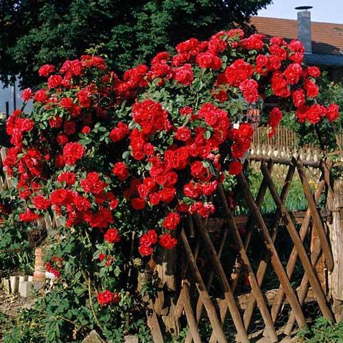 Роза плетистая Малиновая крупная