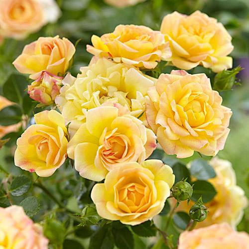 Роза почвопокровная Йеллоу Фейри изображение 1 артикул 3562