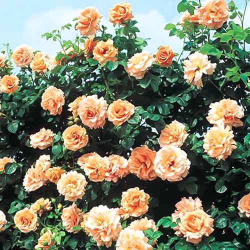 Роза плетистая Полька изображение 1 артикул 2177