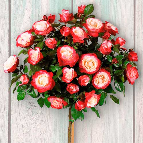 Роза штамбовая Дабл Делайт изображение 1 артикул 2849