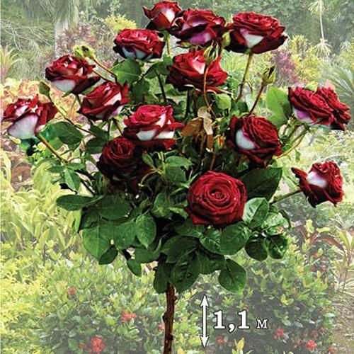 Роза штамбовая Осирия изображение 1 артикул 2848