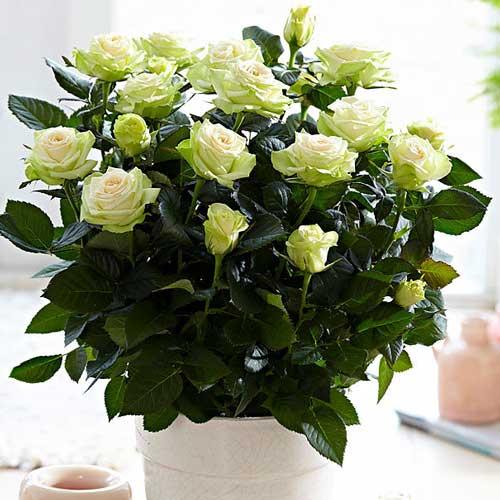 Роза спрей Грин Глоу изображение 1 артикул 2232