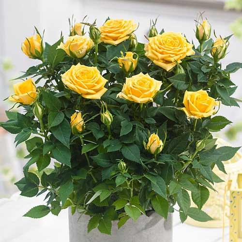 Роза спрей Санторини изображение 1 артикул 2231
