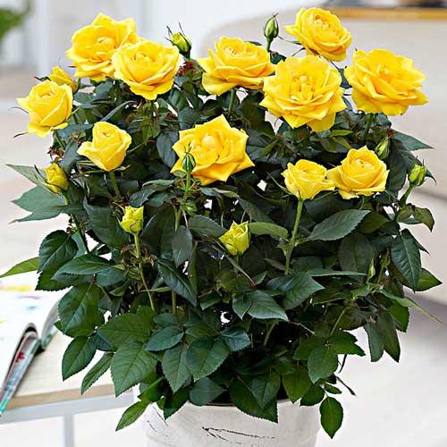 Роза спрей Йеллоу Стар изображение 1 артикул 2233