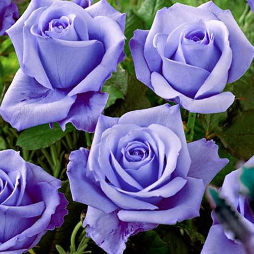 Роза чайно-гибридная Голубая изображение 1 артикул 2114