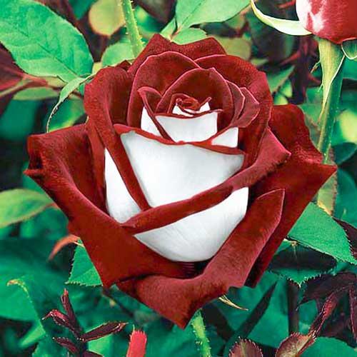 Роза чайно-гибридная Осирия