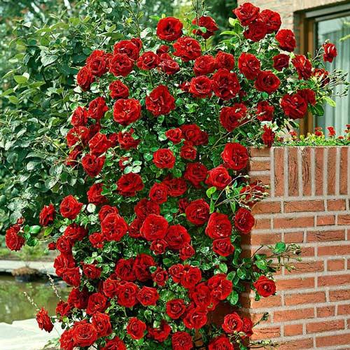 Роза плетистая Черный Букет изображение 1 артикул 2832