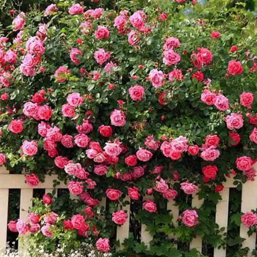 Роза плетистая Розовая изображение 1 артикул 2180