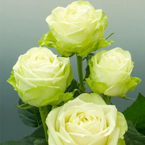 Роза чайно-гибридная Зеленая изображение 1 артикул 2118