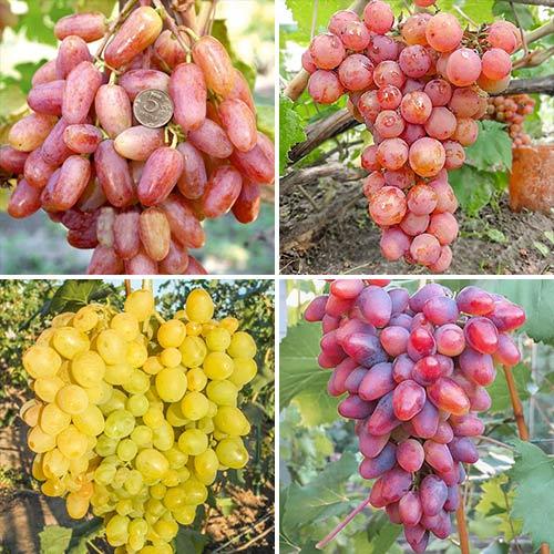 Суперпредложение! Комплект винограда Суперранний из 4 сортов изображение 1 артикул 7333