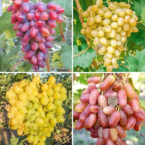 Суперпредложение! Комплект Виноградная элита из 4 сортов изображение 1 артикул 7331