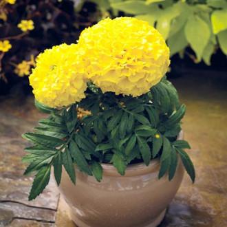 Бархатцы Прауд Мэри желтые F1 изображение 8
