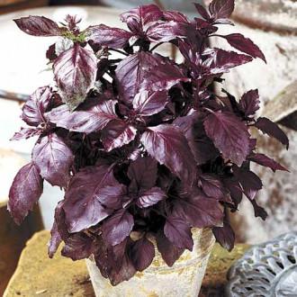 Базилик Карлик фиолетовый изображение 5