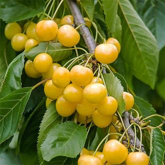 Черешня крупноплодная желтая изображение 4