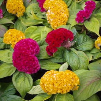 Целозия гребенчатая Коралловый сад, смесь окрасок изображение 1