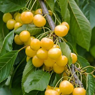 Черешня крупноплодная желтая изображение 8