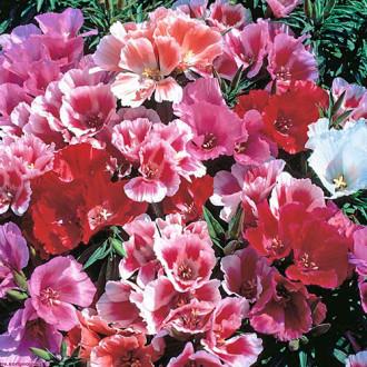 Годеция Майские розы, смесь окрасок