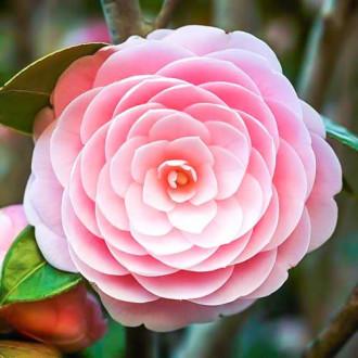 Камелия японская Пинк