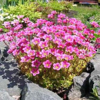 Камнеломка Арендса Пурпурный ковер, семена