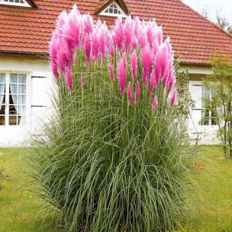 Кортадерия (пампасная трава) розовая