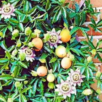 Маракуйя (пассифлора) Виктория  изображение 1