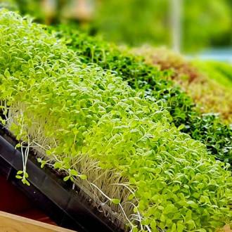 Микрозелень Брокколи изображение 7