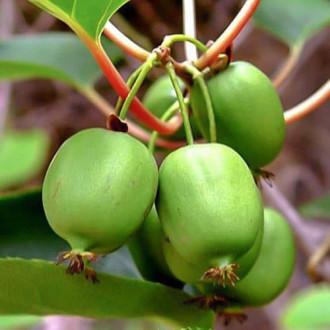 Мини-киви (актинидия) Сентябрьская изображение 8