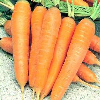 Морковь Алтайская лакомка изображение 6