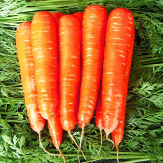 Морковь Карамель красная изображение 8