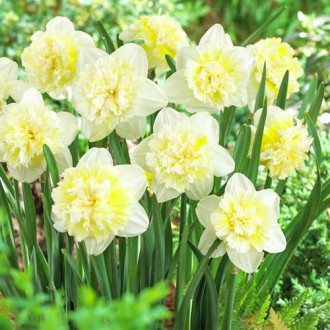 Нарцисс махровый Айс Кинг изображение 3