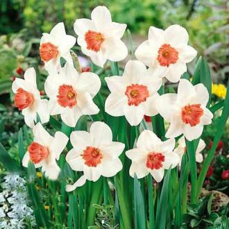 Нарцисс крупноцветковый Пинк Шарм изображение 1