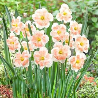 Нарцисс сплит-корона Пинк Вандер изображение 5