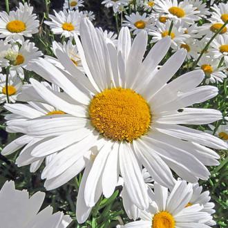 Нивяник Мечта садовника изображение 4