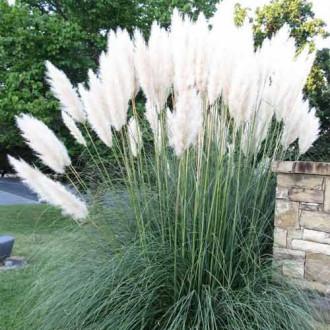 Пампасная трава Белый шлейф изображение 1