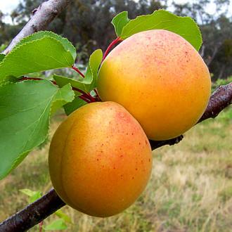 Персик-абрикос Медовый месяц