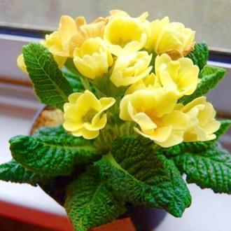 Примула махровая Розанна желтая F1 изображение 3