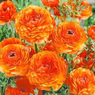 Ранункулюс (лютик) Оранж изображение 5