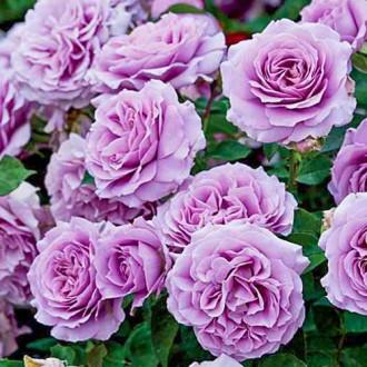 Роза флорибунда Лав Сонг изображение 8