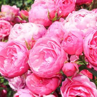 Роза флорибунда Помпонелла изображение 7