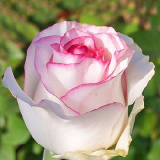 Роза чайно-гибридная Дольче Вита изображение 8