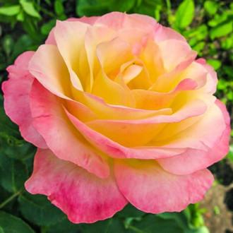 Роза чайно-гибридная Глория Дей изображение 6