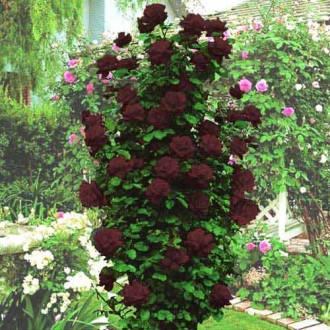 Роза плетистая Черная королева